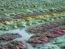 Flooded crops at Natural Roots Farm, Conway
