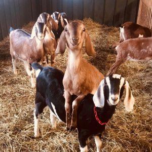 thomas goats.jpeg
