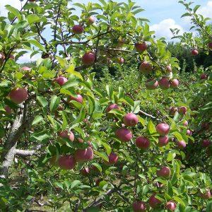 Apples Close - Copy (2).jpg