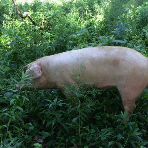 pig on pasture.jpg