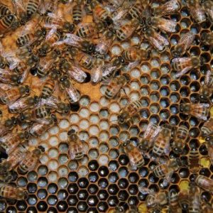 bees on comb 1 copy.jpg