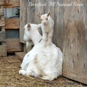 baby goat on violet.jpg