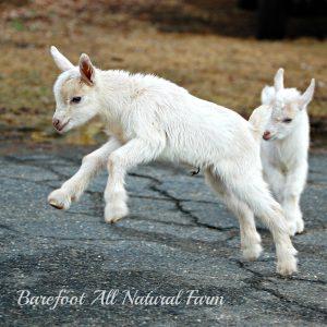 Flying goat.jpg