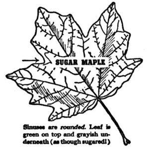 maple leaf sugar maple.jpg