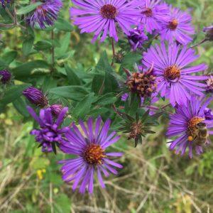 new england purple aster resize.jpg
