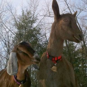 sage meadow goats.jpg