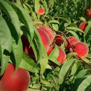 sentinel peaches.jpg
