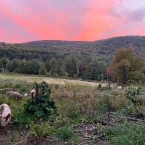 pigs-sunset.jpg