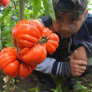 boy-tomato-sofias.jpg