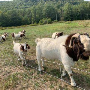 Boers.jpg