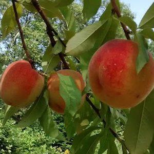 peaches 300x300.jpg