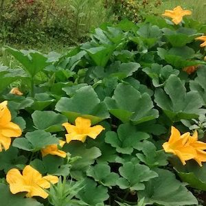pumpkin flowers 483x300.jpg