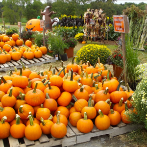 meadow pumpkins.png