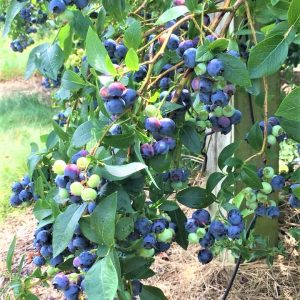 river valley blueberries.jpg