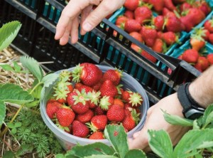 Strawberries at Red Fire Farm (Mount Grace Land Conservation Trust photo)