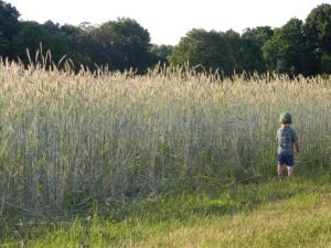 Winter rye at Red Fire Farm ((Mount Grace Land Conservation Trust photo)