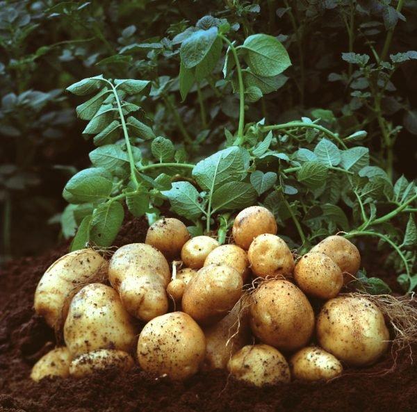 stock potato pic
